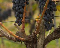 Vini Artigianali Acino (8)