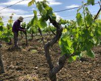 Vini-artigianali-Ferracane (10)