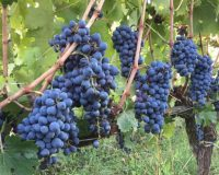 Vini artigianali Macchion dei Lupi (3)_1
