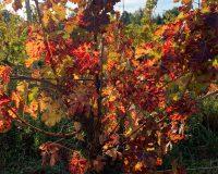Vini artigianali Vitali (9)